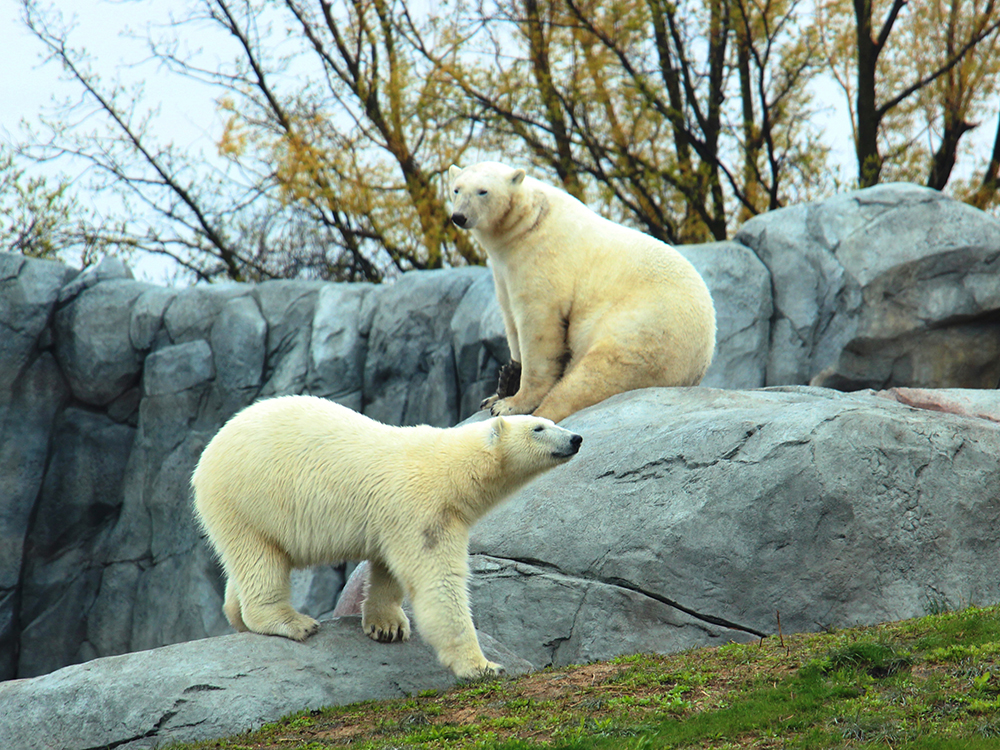 Polar Bear Care - side column 1.jpg (891 KB)